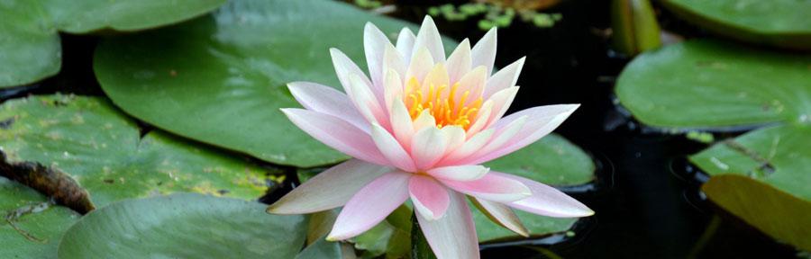 Transformer vos émotions négatives lotus zouzen.fr