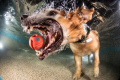 underwater-photos-of-dogs-fetching-their-balls-by-seth-casteel-2