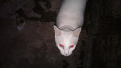Mistura de gato branco e flash Xenon não é aconselhável