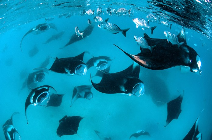 Best Places To Dive With Manta Rays In Asia Zublu
