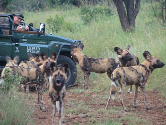 With only 500 Wild Dog left in the wild, this is a highlight at Leopard Mountain