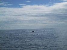 130-3080_Abtauchen_Humpback_Whales_Seward_Alaska