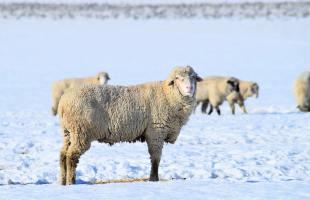 До пяти лет тюрьмы грозит жителю Республики Алтай за кражу овцематок