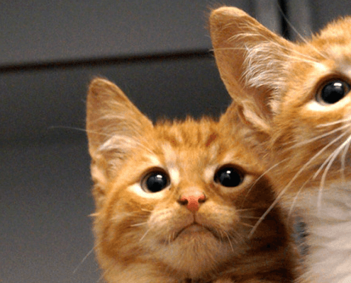 Twee jonge rode katertjes in de zwerfkatten opvang