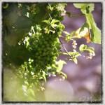 z widokiem na stół | zapiski podróżne Elba | winogrona