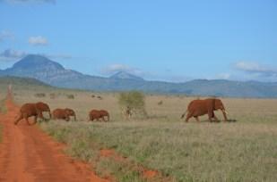 Słonie na drodze Safari w Kenii