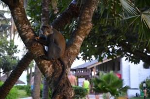 Kenia hotel małpa