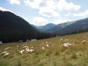 Owce na Polanie Chochołowskiej Tatry