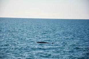 Wieloryb w zatoce Faxa Islandia