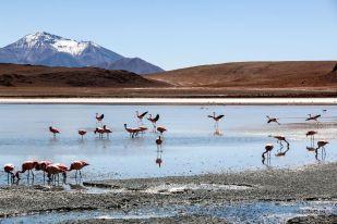 Flamingi 3 wycieczka Salar de Uyuni Boliwia