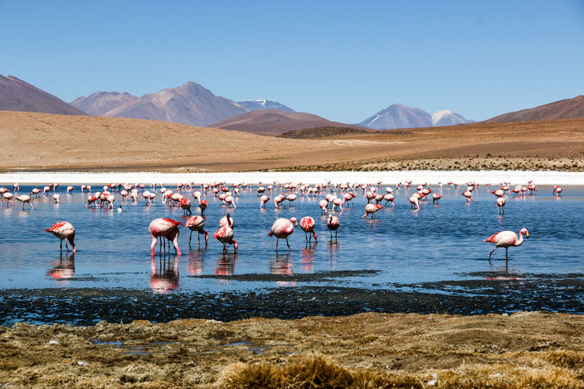 Flamingi wycieczka Salar de Uyuni Boliwia