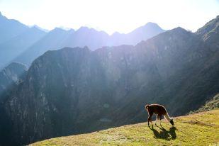 Lama na tarasach Machu Picchu Peru