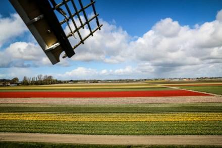 Keukenhof widok na pola tulipanów