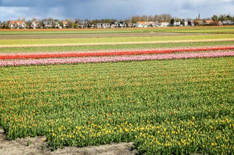 Pola tulipanów Lisse Keukenhof