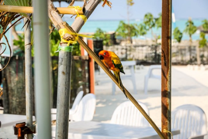 Maafushi Malediwy papuga
