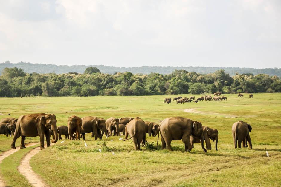 Park Narodowy Kaudulla słonie 3