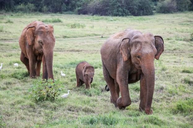 Park Narodowy Kaudulla słonie 5