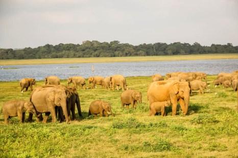 Park Narodowy Kaudulla słonie 6