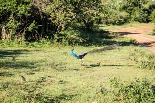 Park Narodowy Yala 5