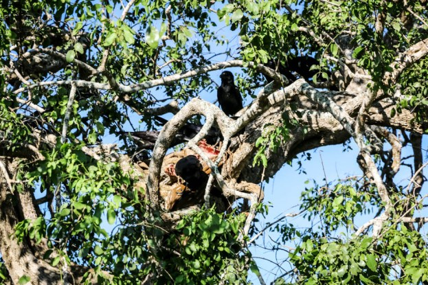 Park Narodowy Yala ofiara lamparta