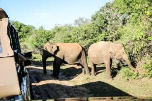 Park Narodowy Yala słonie