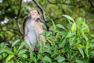 Polonnaruwa małpa