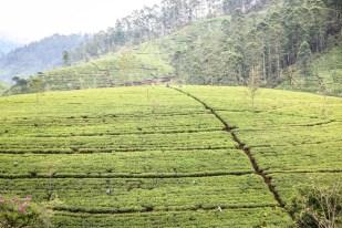 Trasa kolejowa Sri Lanka plantacje herbaty