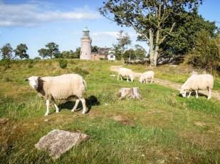Bornholm wrzosy i owce Hammeren