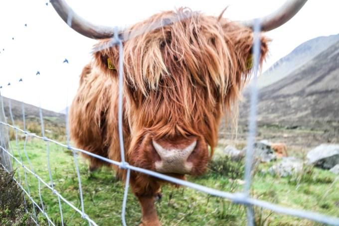 Highland Cow Szkocja
