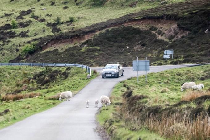 Owieczki przy drodze Skye