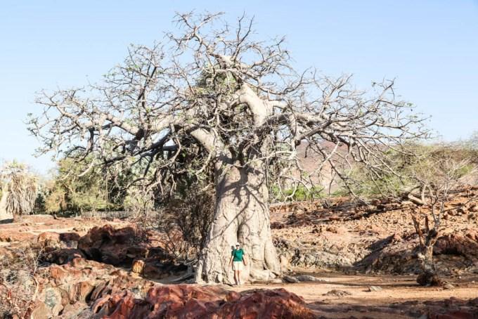 Epupa Falls ogromny baobab