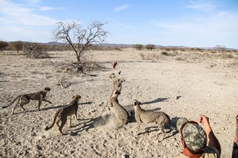 Farma gepardów karmienie dzikich kotów