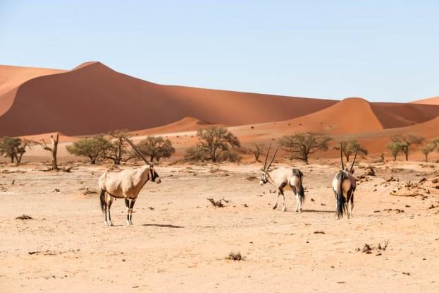 Kilka oryxów na pustyni