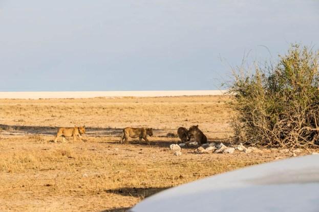 Safari w PN Etosha lwy 2