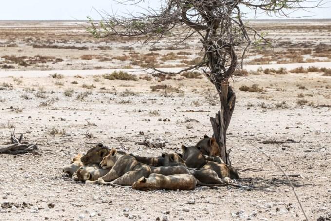Safari w PN Etosha lwy blisko Okaukejo