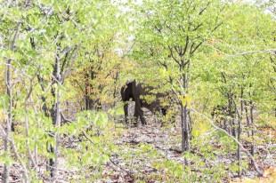 Safari w PN Etosha słonie w buszu