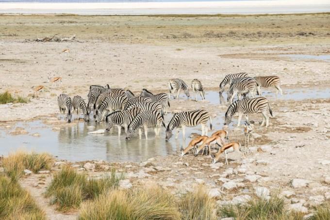 Safari w PN Etosha zebry piją z oczka