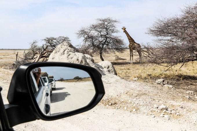 Safari w PN Etosha żyrafa auto