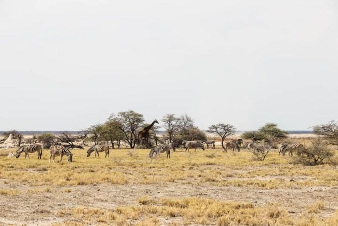Safari w PN Etosha żyrafa i zebry