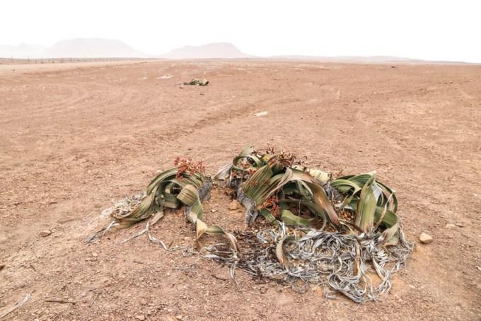Welwiczja Namibia