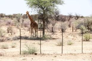 Żyrafa przy drodze do Waterberg