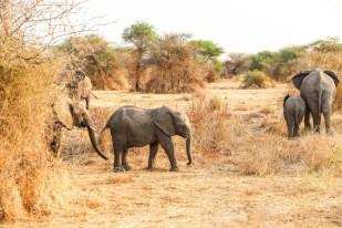 Tanzania PN Tarangire slonie 2