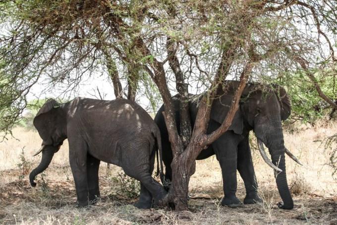 Tanzania PN Tarangire slonie