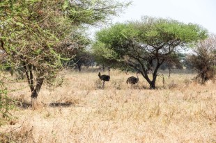 Tanzania PN Tarangire strusie