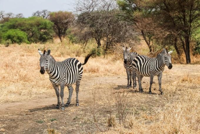 Tanzania PN Tarangire zebry safari