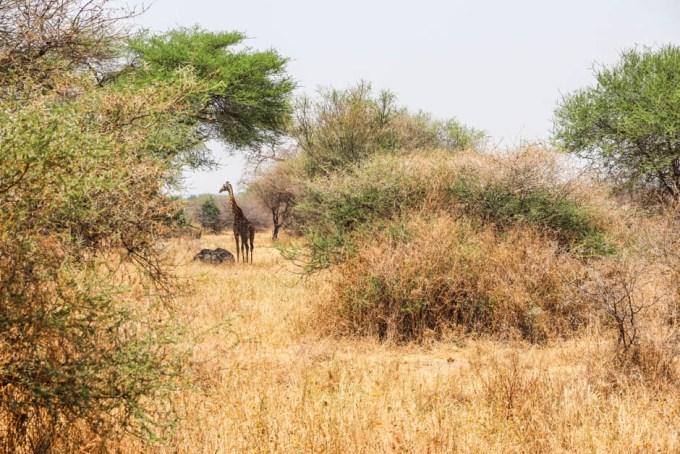Tanzania PN Tarangire zyrafa