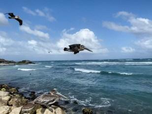 Tulum pelicany