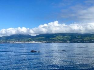 Azory delfiny