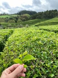 Azory plantacja herbaty 2