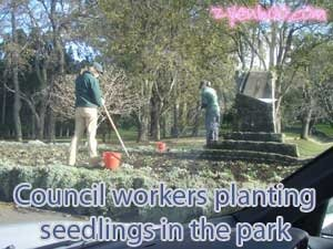 Council workers planting seedlings in the park